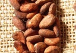 Diferentes tipos de cacao - criollo
