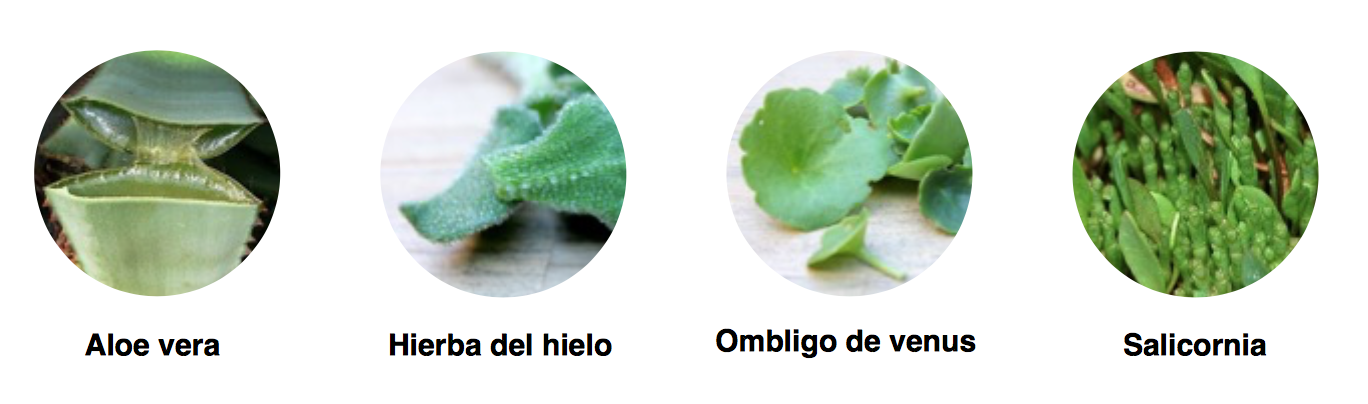 Aloe Vera Hierba de hielo ombligo de venus salicornia